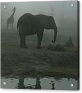 A Giraffe And Elephant Live In The Same Acrylic Print