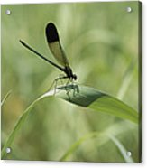 A Graceful Dragonfly Sitting On A Blade Acrylic Print