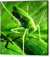 A Grasshopper Cleans Itself Acrylic Print by Catherine Natalia  Roche