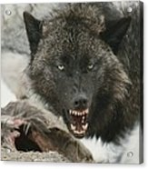 A Gray Wolf, Canis Lupus, Growls Acrylic Print