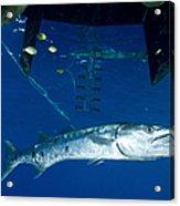 A Great Barracuda Beneath A Boat, Kimbe Acrylic Print