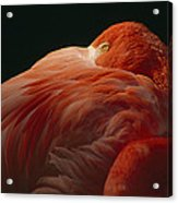 A Greater Flamingo With Its Head Acrylic Print