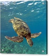 A Green Sea Turtle Diving In Clear Water Acrylic Print
