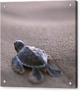 A Green Sea Turtle Hatchling Races Acrylic Print
