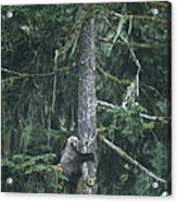 A Grizzly Bear Clings To A Fir Tree Acrylic Print