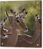 A Group Of Alert Impalas In Samburu Acrylic Print