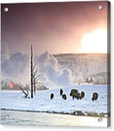 A Group Of Bison Feeding In The Snow Acrylic Print by Drew Rush