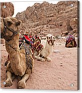 A Group Of Camels Sit Patiently Acrylic Print by Taylor S. Kennedy
