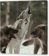 A Group Of Gray Wolves, Canis Lupus Acrylic Print