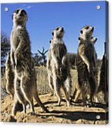 A Group Of Meerkats Standing Guard Acrylic Print