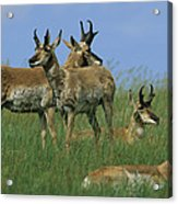 A Group Of Pronghorns In Buffalo Gap Acrylic Print