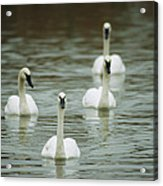 A Group Of Swans Swimming On A County Acrylic Print