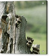 A Group Of Young Racoons Peer Acrylic Print