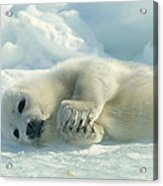 A Harp Seal Pup Lies On Its Side Acrylic Print