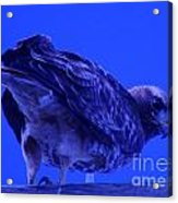 A Hawk Looks Back  Acrylic Print