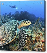 A Hawksbill Turtle Swims Acrylic Print