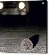 A Hedgehog Acrylic Print