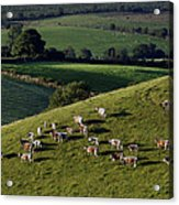 A Herd Of Cattle Graze On Rolling Green Acrylic Print