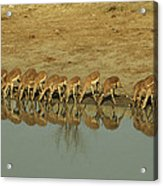 A Herd Of Impala Drinking At A Watering Acrylic Print