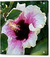 A Hibiscus Of A Different Kind Acrylic Print