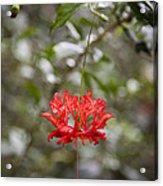 A Hibiscus Schizopetalus Flowers Acrylic Print