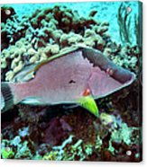 A Hogfish Swimming Above A Coral Reef Acrylic Print