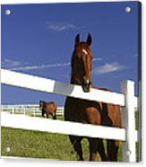 A Horse Peers Over A Fence Acrylic Print
