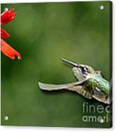 A Hummingbird With Dimension Acrylic Print