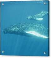 A Humpback Mother Swims With Her Calf Acrylic Print