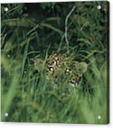 A Jaguar Peeks Out From The Foliage Acrylic Print