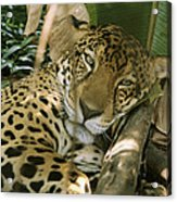 A Jaguar Rests On The Jungle Floor Acrylic Print