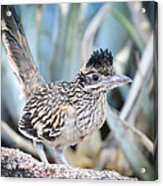 A Juvenile Greater Roadrunner  Acrylic Print