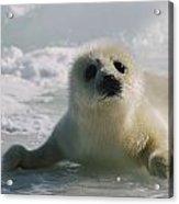A Juvenile Harp Seal Pagophilus Acrylic Print