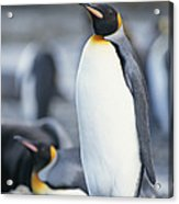 A King Penguin Stands On Pebbled Ground Acrylic Print
