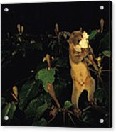 A Kinkajou Drinks Deeply Of Balsa Acrylic Print