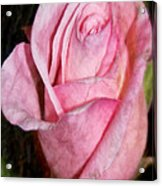 A Kiss By A Rose Acrylic Print