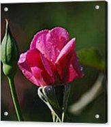 A Knockout Rose Acrylic Print