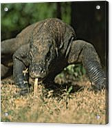 A Komodo Dragon Sensing The Air Acrylic Print