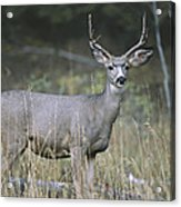 A Large Antlered White-tailed Deer Acrylic Print