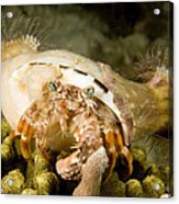 A Large Hermit Crab With Sea Anemones Acrylic Print