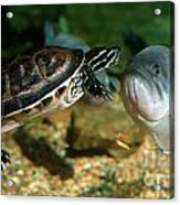 A Large Mouthed Bass And A Chicken Turtle In Aquarium In Cape Co Acrylic Print