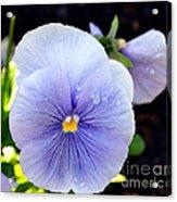 A Lavender Pansy Acrylic Print