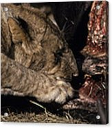 A Lion Feeding On The Carcass Of A Cape Acrylic Print