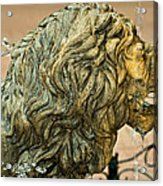 A Lion In Summer Acrylic Print