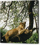 A Lion Panthera Leo Relaxes On A Tree Acrylic Print
