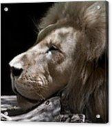 A Lions Portrait Acrylic Print