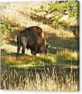 A Lone Bison In Yellowstone 9467 Acrylic Print