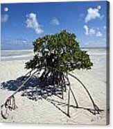 A Lone Mangrove Tree On A Sand Spit Acrylic Print by Scott S. Warren