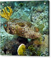 A Long-spined Porcupinefish, Key Largo Acrylic Print by Terry Moore