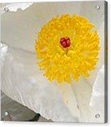 A Macro Of A White Mexican Poppy Flower Acrylic Print